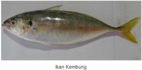 Ikan Laut Konsumsi - Ikan Kembung