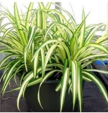 Spider Plant; Airplane Plant