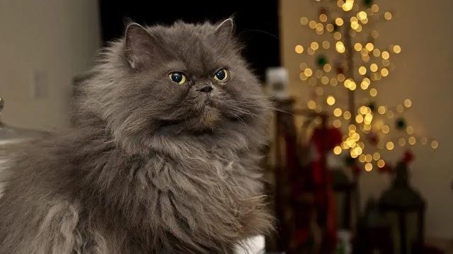 Persian Cats | പേർഷ്യൻ പൂച്ചകൾ