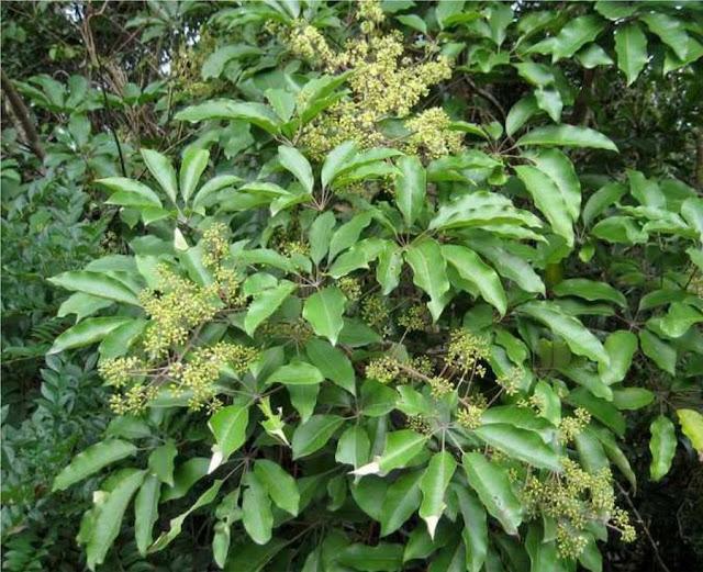 HÌNH ẢNH THỰC TẾ NAM SÂM - Schefflera octophylla - Nguyên liệu làm Thuốc Bổ, Thuốc Bồi Dưỡng