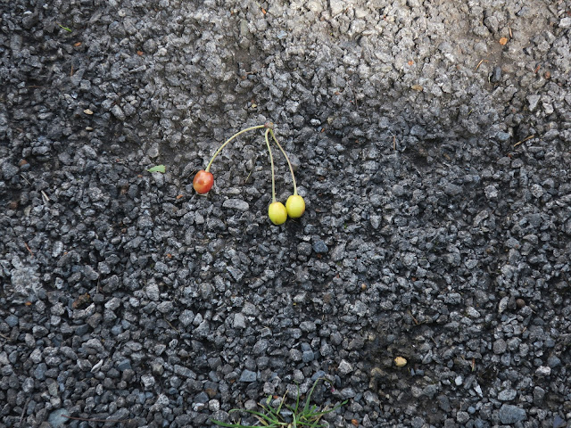 Cherries fallen from a tree (ornamental?) onto the tarmac pavement. 21st June 2020