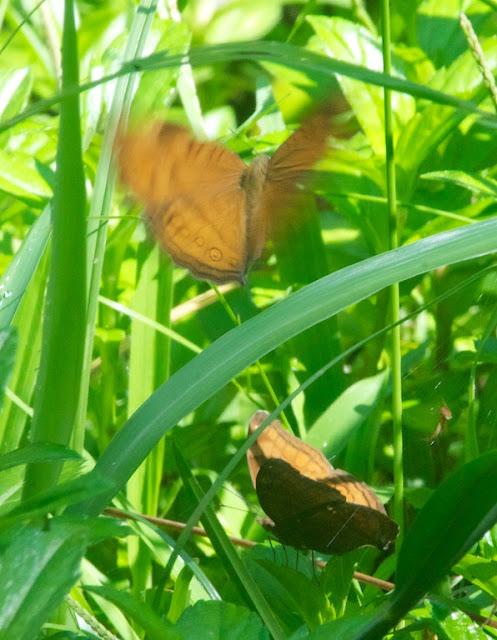 Brown Pansy (Junonia hedonia)
