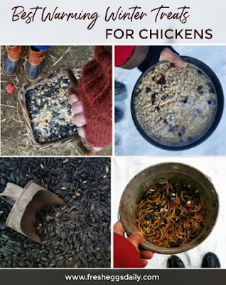 Best warming winter treats for chickens