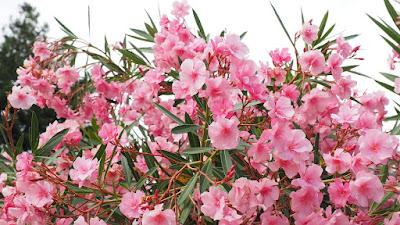 pianta-fiore-oleandro-albero-giardino