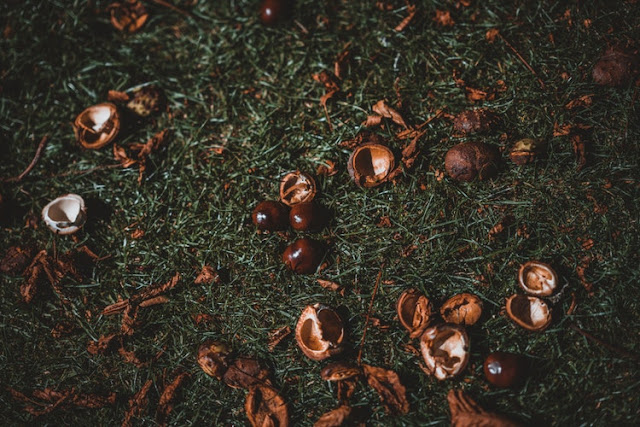 Conkers and conker shells laying on the ground
