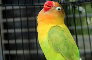 Cara seting lovebird jantan