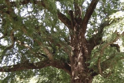 Ciri Ciri Pohon Asem Jawa Di Alam Liar