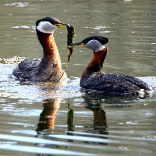 Indian bird - Red-necked grebe - Podiceps grisegena