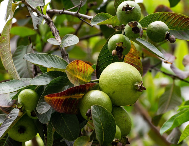 Be Aware About Guava And Its Benefits
