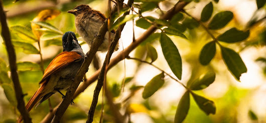 The African Paradise Flycatchers of Rorke's Drift Lodge