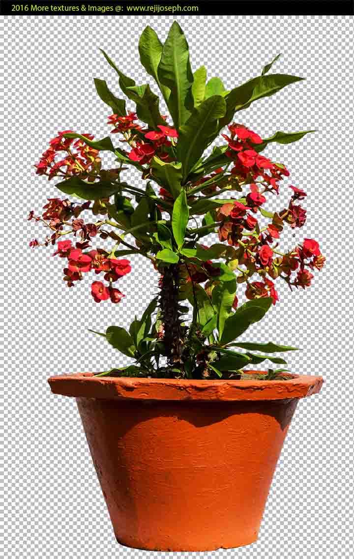 PNG Euphorbia Milii Garden Plant Texture 00002