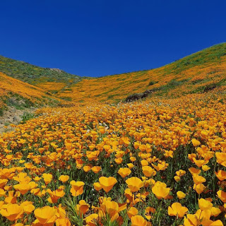 California's Wildflower Super Bloom