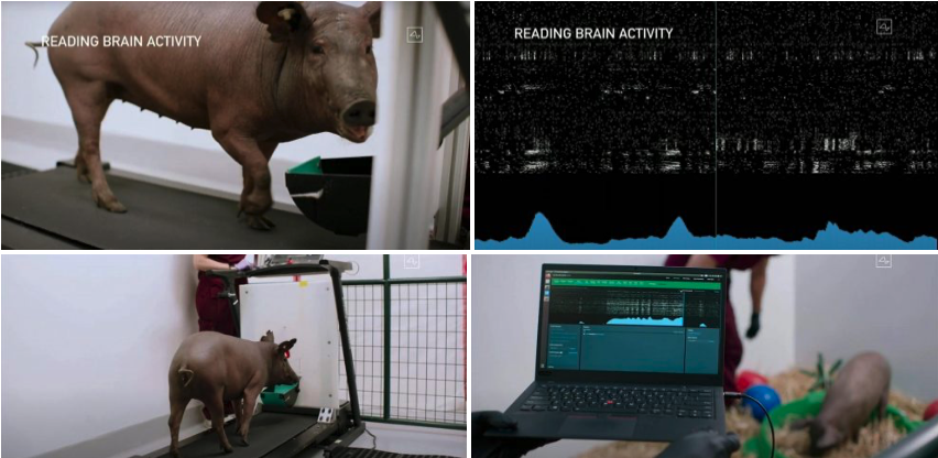 Neuralink pruebas cerdos