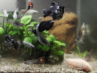 cara budidaya ikan hias air tawar black molly,air tawar di aquarium,hias air laut,pengertian budidaya ikan hias air tawar,guppy,komet,hias manfish,hias cupang,