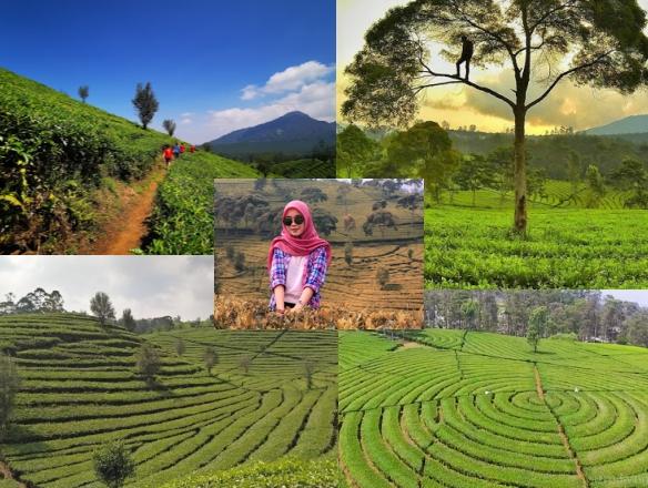 Kebun teh Sukawana_Tempat wisata di Bandung Hits dan Instagramable