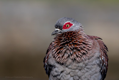 Speckled Pigeon: Portraits of Birds in Flight Woodbridge Island