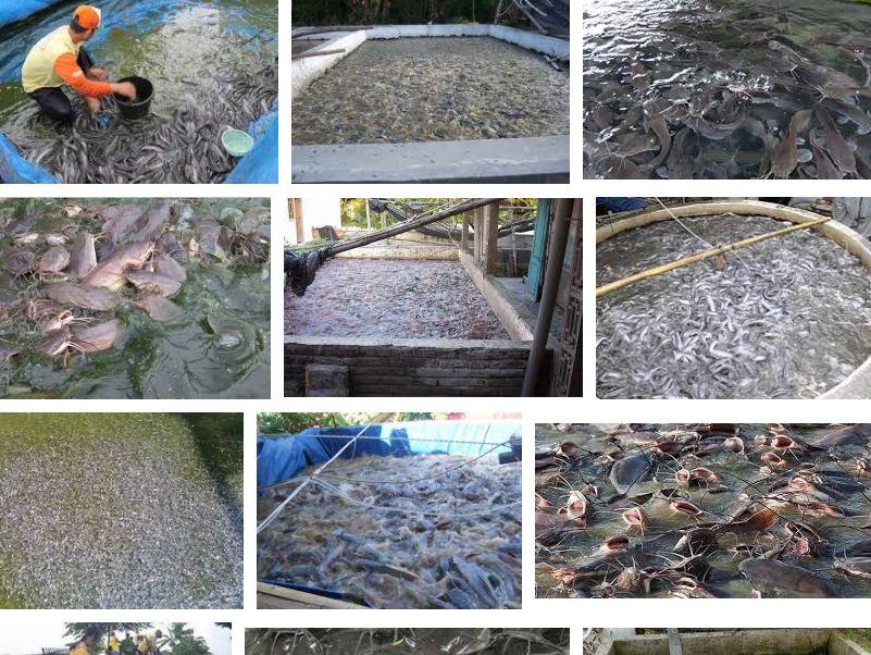 Pembesaran Ikan Lele