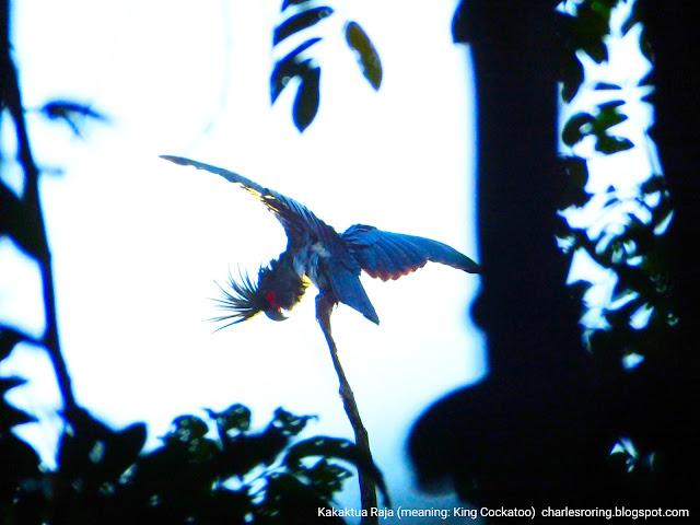 Burung Kakaktua Raja