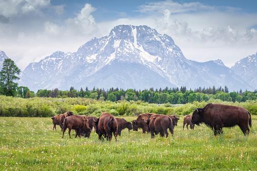 Apa itu bison?