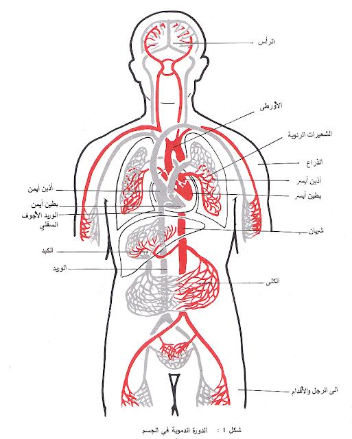 دورة الدم في الجسم