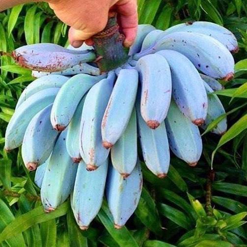 blue java banana, ice cream banana, blue java bananas, java blue, ice cream banana tree blue, java banana tree, java banana, blue banana ice cream, blue java banana growing zone, blue java banana inside, blue java banana taste