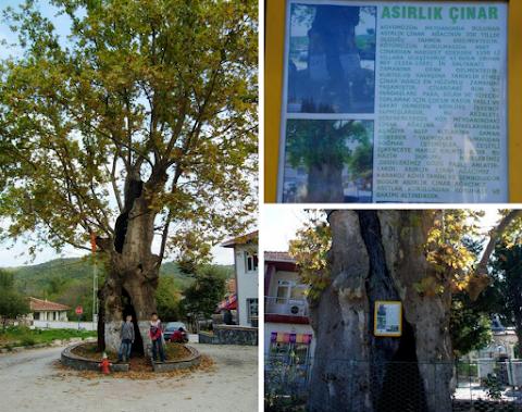 Kabakoz Köyündeki 700 Yıllık Çınar Ağacı