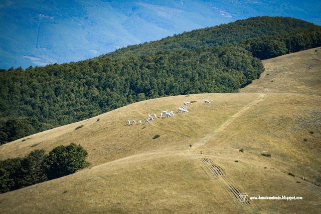 mucche al pascolo a Pratomagno