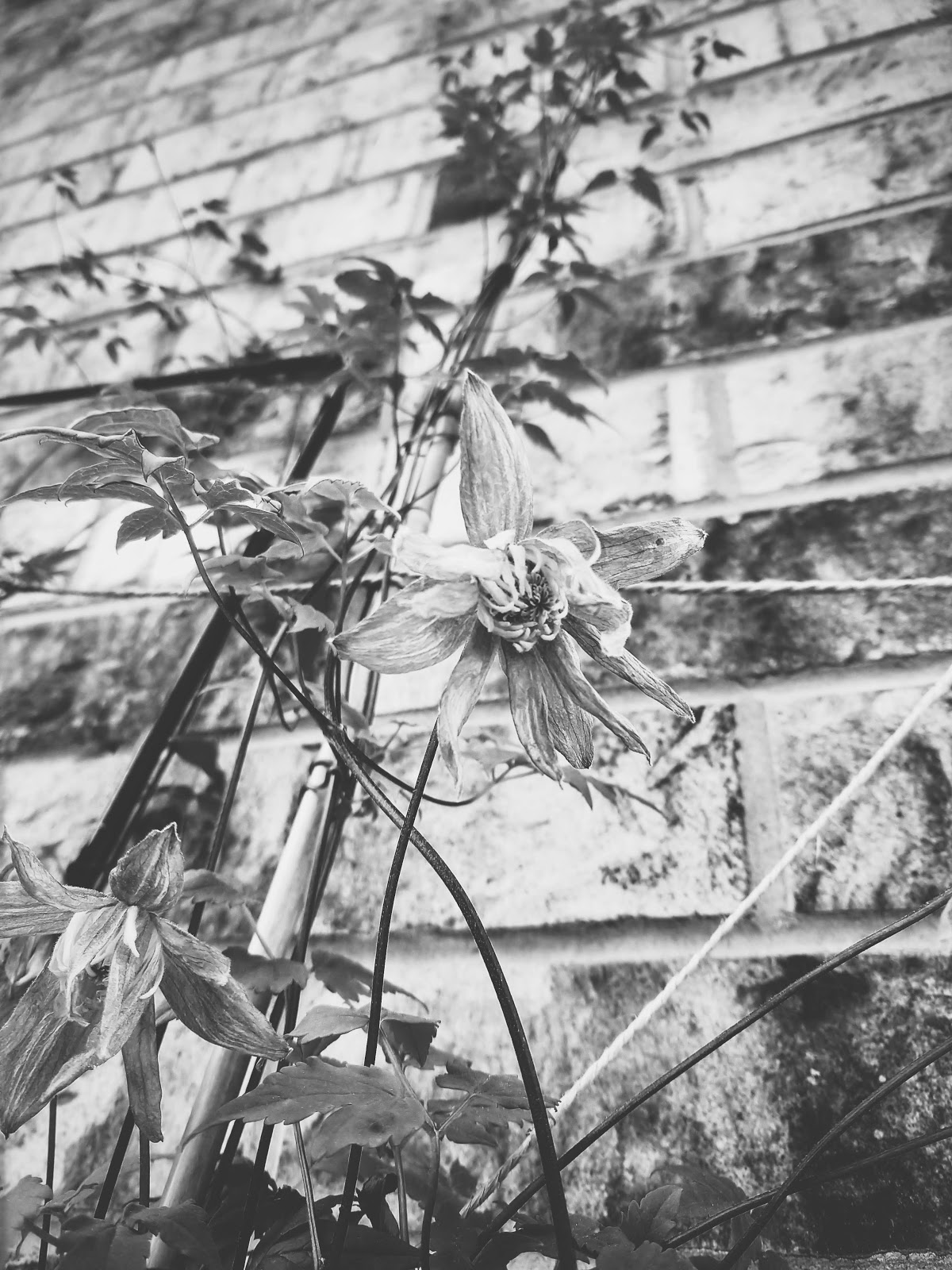 bluebird clematis blooms // life in black & white series // www.thejoyblog.net