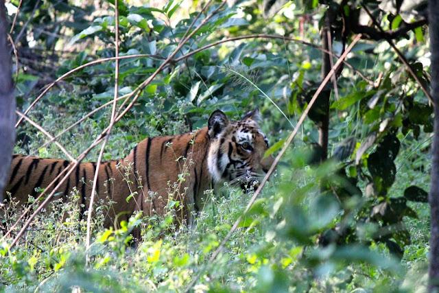 रॉयल बंगाल टाइगर