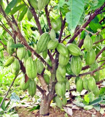 Teknik Budidaya Tanaman Kakao Unggul
