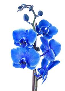orquídea phalaenopsis flor azul