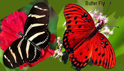 butterfly, butterfly insects