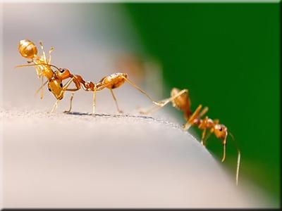 ✅tipos de hormigas-ants más conocidas
