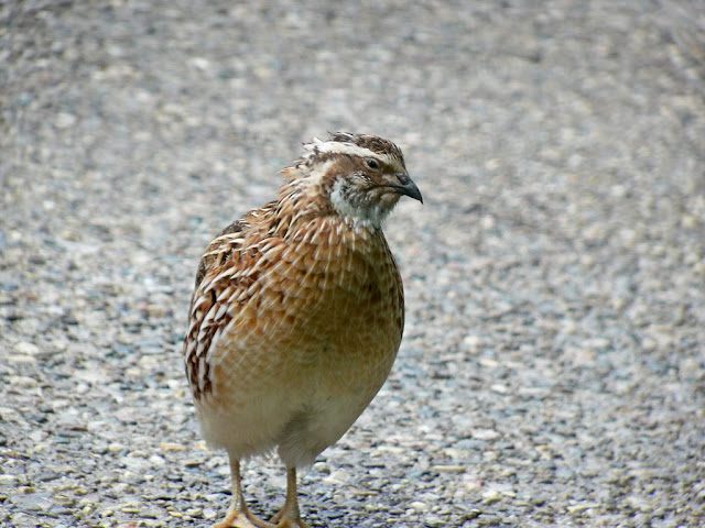 https://www.organicupperegypt.com/2019/07/Selling-buyingquail.html
