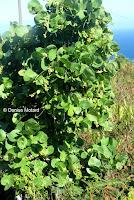 Shrub with grape-like fruits - Makapu'u Point Lighthouse trail, Oahu, HI