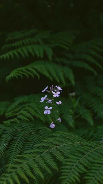 Samambaia, Planta Flores Violeta