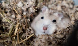 6 Ciri-Ciri Hamster Sedang Hamil dan Akan Melahirkan Anaknya