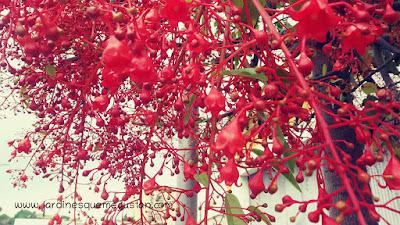 Floración de Brachychiton acerifolius