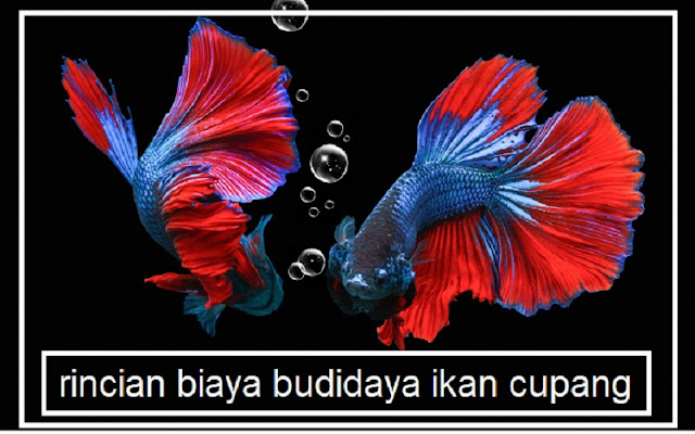 rincian modal budidaya ikan cupang