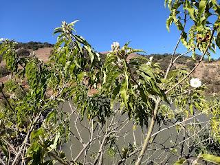 Ipomoea murucoides, Cazahuate