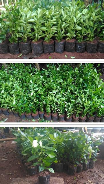 Jual Bibit Pohon Teh Tehan Pagar - Tukang Rumput Bogor