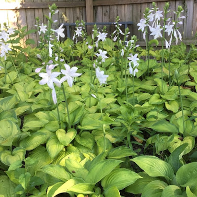 Guacamole Hosta Grouping in Bloom