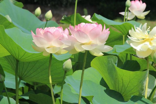 山田富士公園の蓮の花