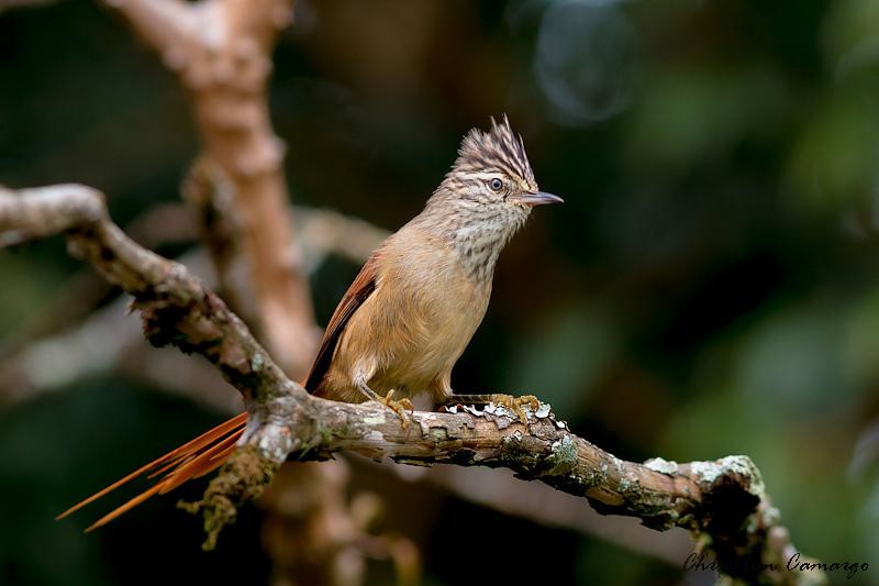 Pássaro Garimpeiro (Leptasthenura setaria)