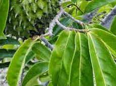 Cara Menghilangkan jerawat dan bekas jerawat dengan daun sirsak
