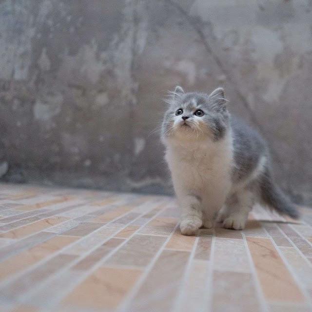 Harga kucing Persia medium long hair