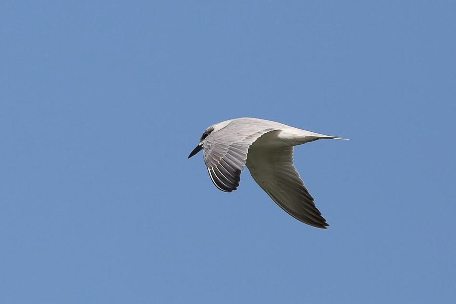 Birds of Saudi Arabia: 02/14