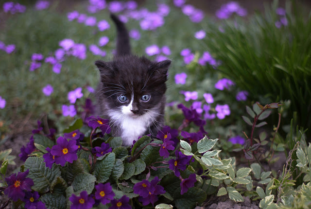 Companion Animal Psychology turns 8; kitten and purple primulas