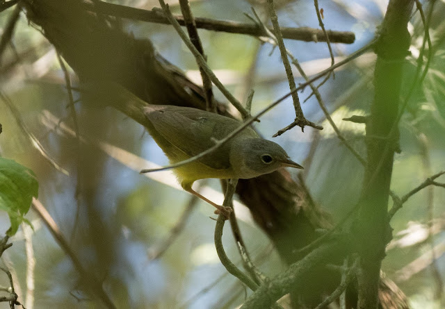 Mourning Warbler - Magee Marsh, Ohio, USA