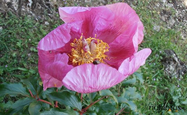 Estambres y frutos de PEONÍA Paeonia broteri